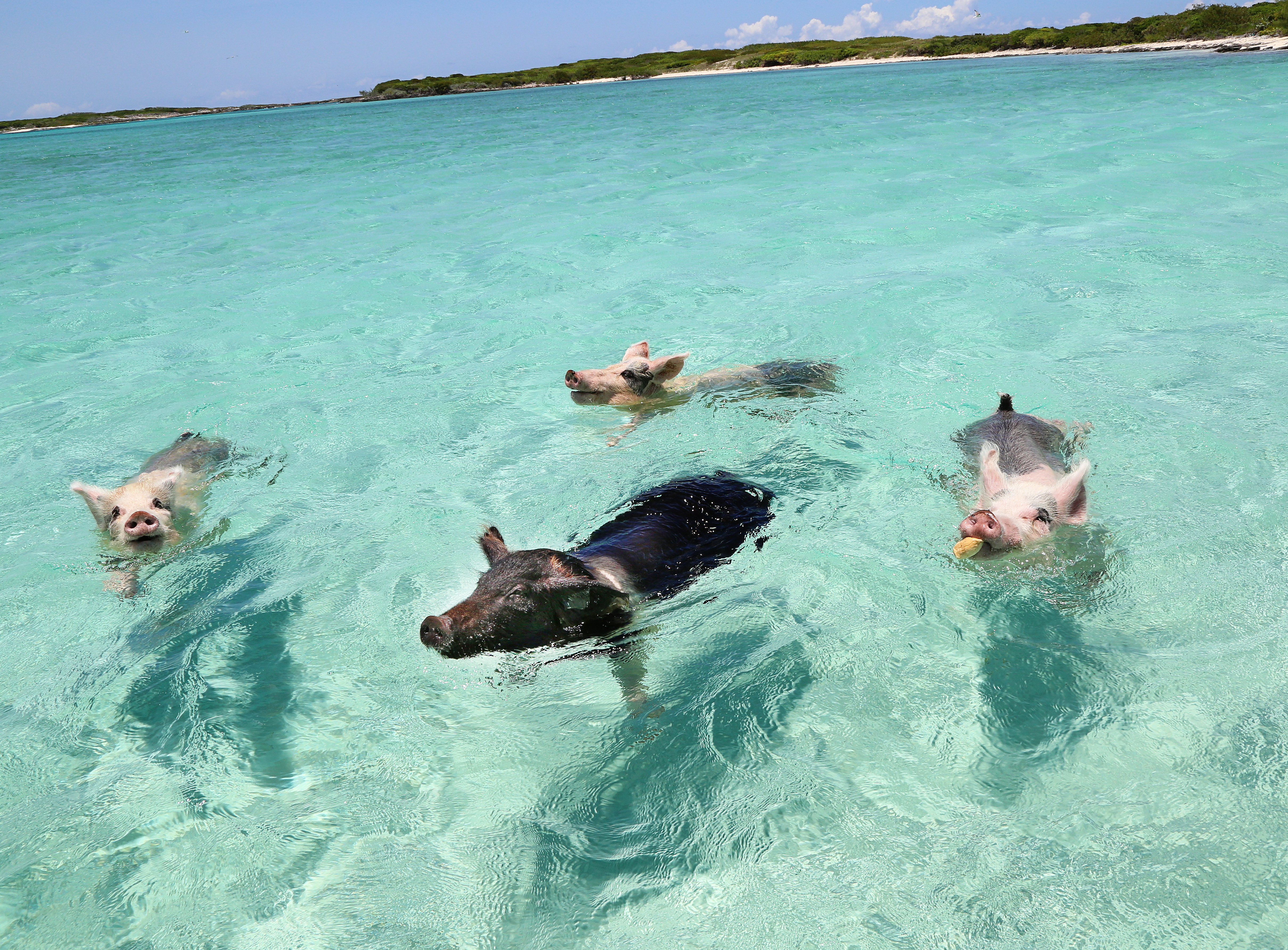 Picture of pigs swimming the ocean