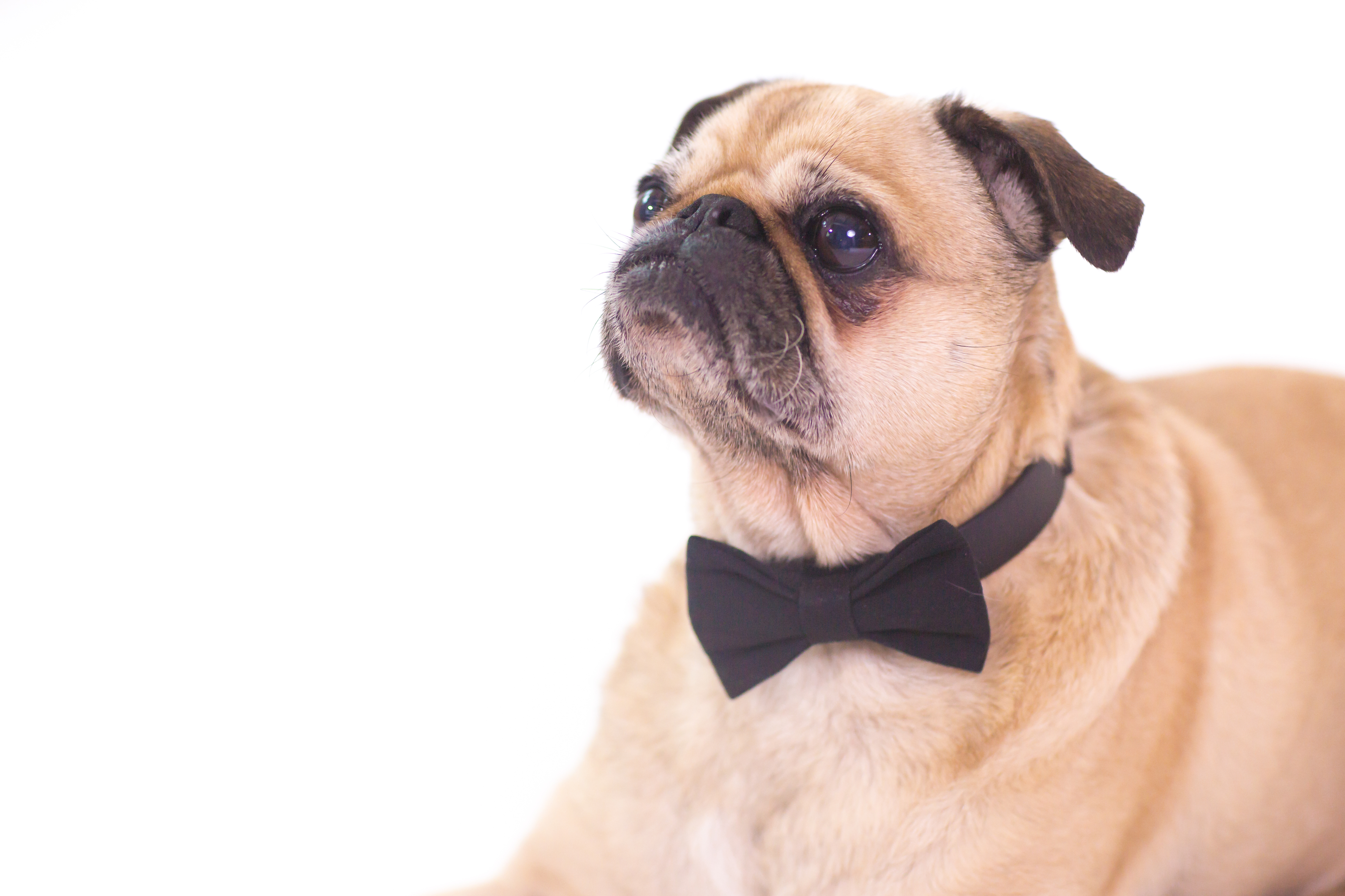 Pug with bowtie